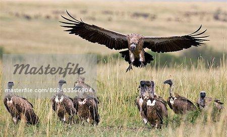 Kenya,Maasai Mara,Narok district. A white-backed vulture comes in to land near a kill in the Masai Mara National Reserve of Southern Kenya.
