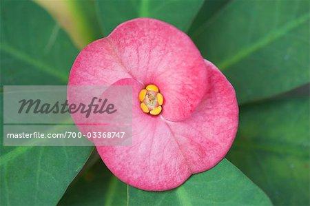 Nahaufnahme von Crown-of-Thorns Blume