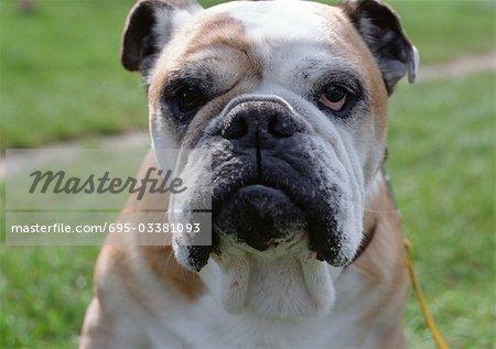 Close up of bulldog.