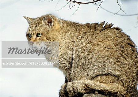 Européen de chat sauvage (Felis silvestris silvestris), pleine longueur