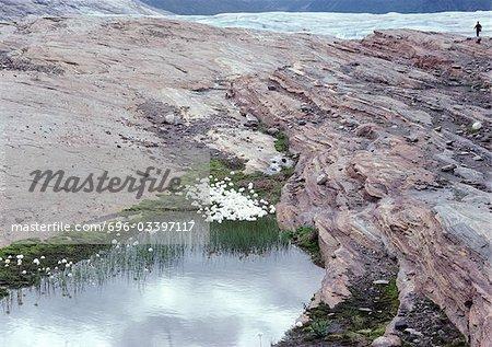 Norvège, fleurs blanches qui poussent sur le sommet de la montagne près de glacier