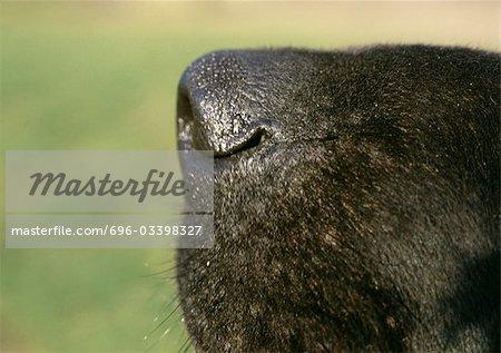 Black dog's nose side view, close-up