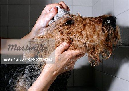 Terrier étant baigné