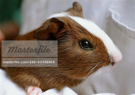 Hamster, gros plan