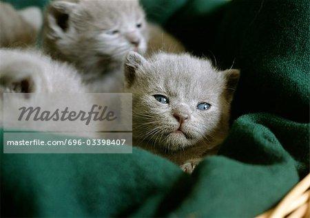Grey kittens in a basket.