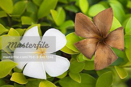 Fleurs de frangipanier fraîches et en décomposition