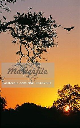 Zambie, parc national du Sud Luangwa. Cigognes Yellowbilled retournent à la colonie au coucher du soleil (Mycteria ibis).