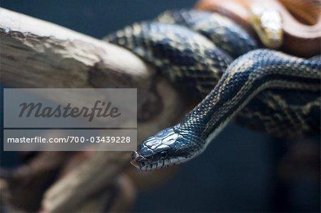 Black Snake, Florida Aquarium, Tampa, Florida, USA