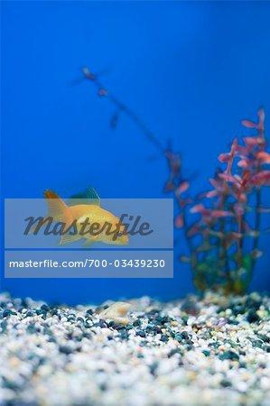 Gold Fish in Aquarium, Tampa Aquarium, Tampa, Florida, USA