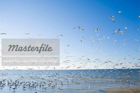 Mouettes, Hudson Beach, Florida, USA