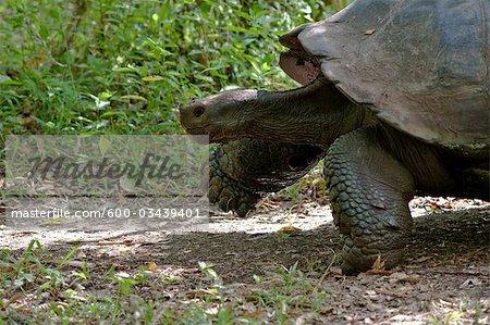 Galapagos Giant Tortoise, île de Santa Cruz, aux îles Galapagos, Equateur
