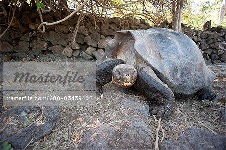 Tortue géante des Galapagos, Isla Espanola, aux îles Galapagos, Equateur