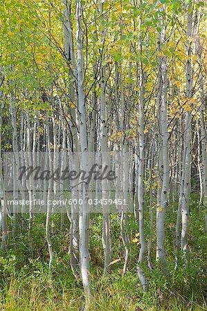 Arbres du bosquet de peuplier faux-tremble au début de l'automne, Oregon, Etats-Unis
