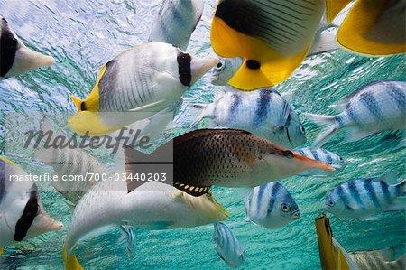 Divers poissons de récifs tropicaux, Bora Bora Nui Resort, Bora Bora, Tahiti, Polynésie française