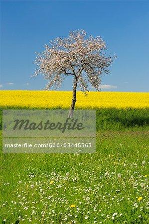 Apple Tree, Franconia, Bavaria, Germany, Europe