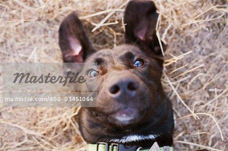 Portrait de labradors noirs traverser Puppy