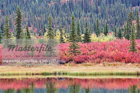 Caribou and Autumn Tundra, Alaska, USA