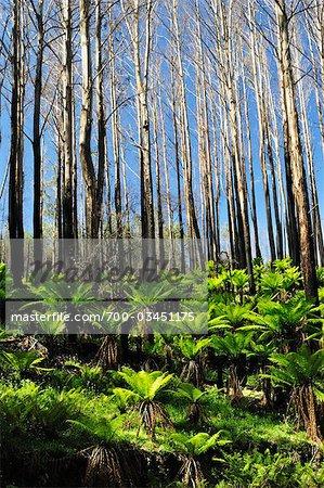 Baumfarne, erholt sich von Bushfire, reicht Yarra Nationalpark, Victoria, Australien