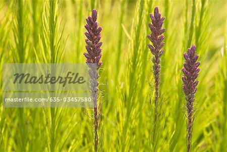 Growing floristan violet