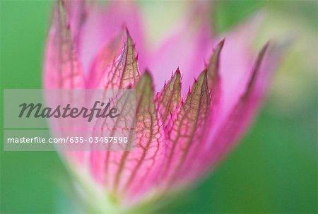 Close up of purple astrantia