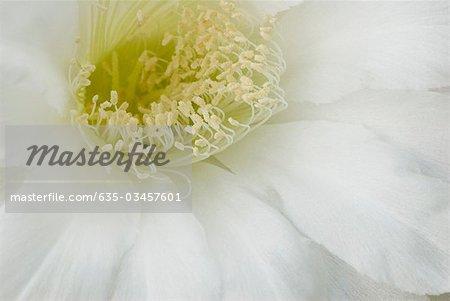 Close up of echinopsis