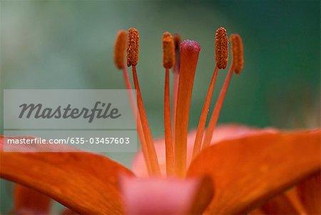 Close up of orange lily