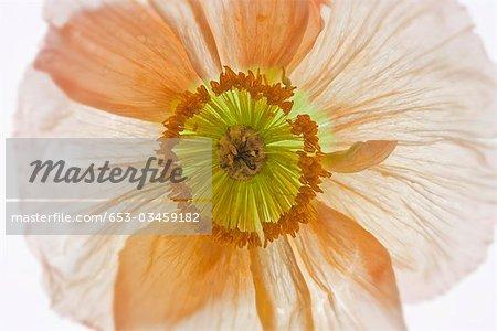 Detail einer Mohnblume