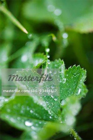 Close-up of Water Drops on Leaf, Grundarfjordur, Snaefellsnes Peninsula, Iceland