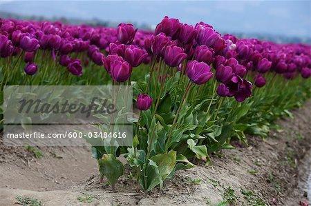 ferme de la tulipe, Skagit Valley, Washington, USA