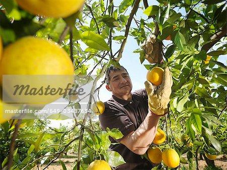 Man picking oranges
