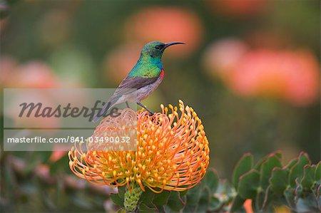 Southern (lesser) doublecollared sunbird, Cinnyris chalybeus, perched on pincushion protea, Leucospermum erubescens,  Kirstenbosch Botanical Garden, Cape Town, South Africa, Africa