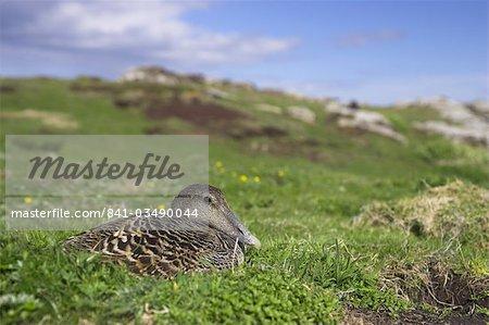 Les eiders femelles sur le nid, Somateria mollissima, île de May, Ecosse, Royaume-Uni, Europe