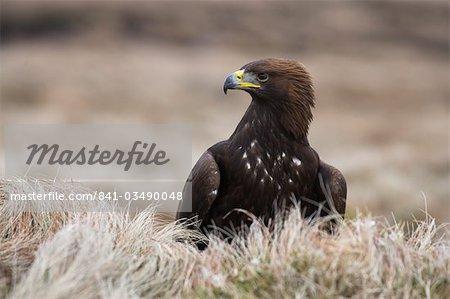 Aigle royal Aquila chrysaetos, marécage, captif, Royaume-Uni, Europe