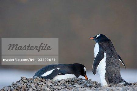 Gentoo penguins (Pygoscelis papua), Browns Bluff, Drake Passage, Weddell Sea, Antarctic Peninsula, Antarctica, Polar Regions