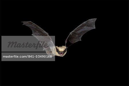 Pipistrel Ouest (Pipistrellus hesperus) en vol, près de Portal, Arizona, États-Unis d'Amérique, l'Amérique du Nord
