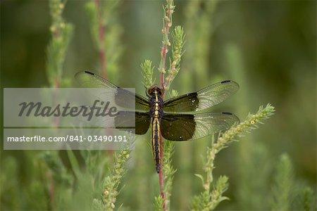 Veuve libellule ou demoiselle veuve (Libellula luctuosa) perché, Boyd Lake State Park, Colorado, États-Unis d'Amérique, Amérique du Nord