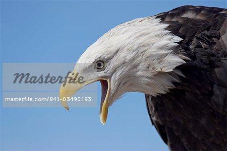 Aigle à tête blanche (Haliaeetus leucocephalus) émettant des sons, comté de Boulder, Colorado, États-Unis d'Amérique, Amérique du Nord