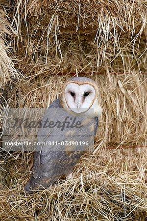 Barn owl (Tyto alba) in captivity on hay bales, Boulder County, Colorado, United States of America, North America