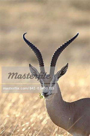 Subvention de Gazelle (Gazella granti), réserve nationale de Masai Mara, Kenya, Afrique de l'est, Afrique