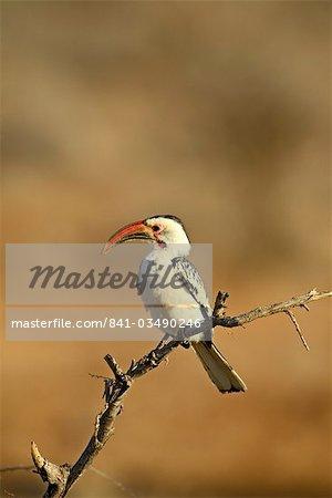 Calao à bec rouge (Tockus erythrorhynchus), Samburu National Reserve, Kenya, Afrique de l'est, Afrique