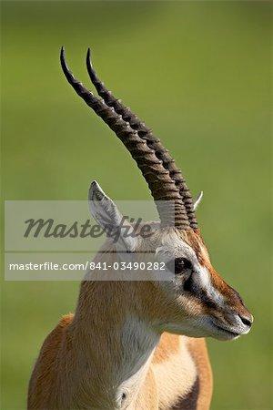 Mâle Thomson de gazelle (Gazella thomsonii), le cratère de Ngorongoro, zone de Conservation du Ngorongoro, Tanzanie, Afrique de l'est, Afrique