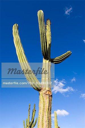 Saguaro Cactus au Jardin de Cactus, Guatiza, Lanzarote, îles Canaries, Espagne