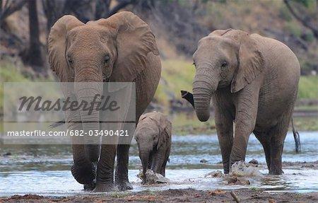 African Bush Elephant (Loxodonta africana) herd drinking at waterhole, Mashatu Game Reserve, Northern Tuli Game Reserve, Botswana
