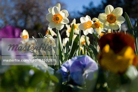 Daffodil, Salzburg, Austria
