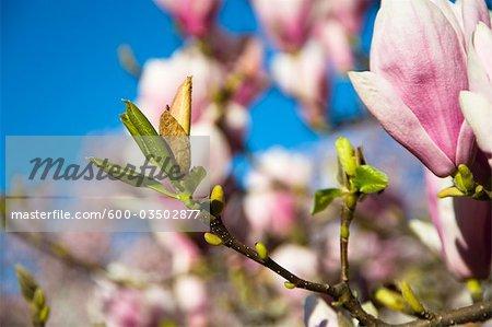 Fleurs de Magnolia, Salzbourg, Autriche