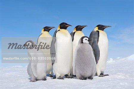 Emperor Penguin Adults and Chicks, Snow Hill Island, Antarctic Peninsula
