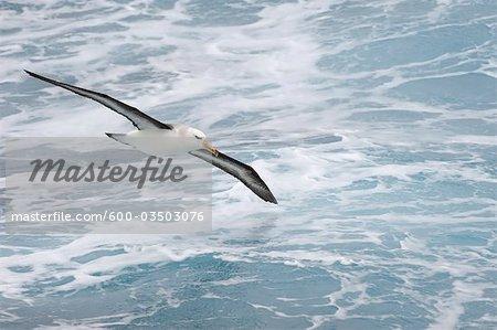 À sourcils noirs Albatros, Passage de Drake, Antarctique