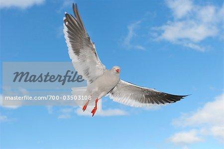 Dolphin Gull, Ushuaia, Tierra Del Fuego, Argentine, Amérique du Sud