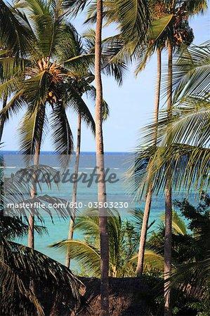 Tanzanie, Zanzibar (île d'Unguja), cocotiers.