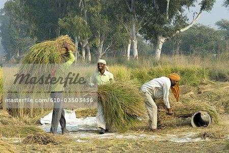 Culture du riz basmati en Inde, Punjab.